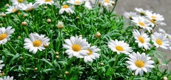 Quelles fleurs composeront vos massifs ?